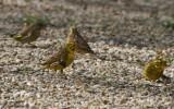 Yellowhammer / Bruant jaune (Emberiza citrinella) & Greenfinch / Verdier d'Europe (Carduelis chloris)