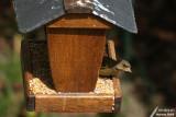 Greenfinch / Verdier d'Europe (Carduelis chloris)