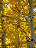 leaves of Aspen
