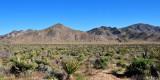 Living desert of Joshua tree