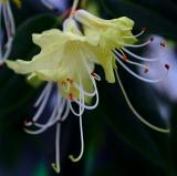 yellow hanging rhodie