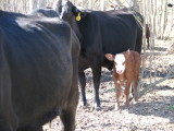 One of the calfs