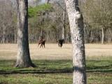 the calfs running back