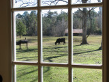 Cows in the backyard
