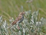 Bairds-Sparrow.jpg