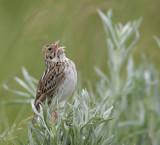 bairds-sparrow-3.jpg