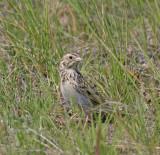 Baird-sparrow-IV.jpg