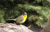 Yellow-breasted Chat   19 May 09   IMG_3559.jpg