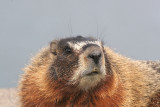 Yellow-bellied Marmot   31 Mar 06   IMG_0718.jpg