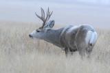 Mule Deer   5 Dec 07   IMG_5939.jpg