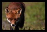 1998 fox