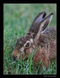 0622  hare / haas