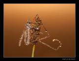 4176  crane-fly in dew / langpootmug