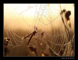 104184  cranefly in dew / langpootmug-in-web-met-dauw
