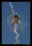 6100 waspspider / wespspin
