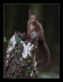 5781  red squirrel / eekhoorn