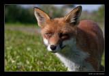 1555 fox