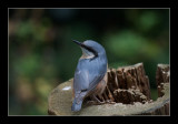 2195 nuthatch / boomklever