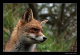 9689 fox
