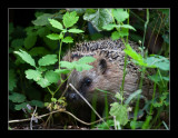 5470  hedgehog -egel
