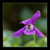 6451 wood violet / bosviooltje