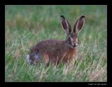 0649  hare / haas