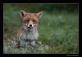 0083 fox lekker puh