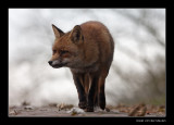 1840 fox