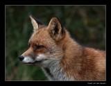 1716 fox