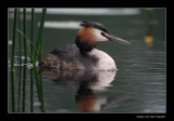 8530 great crested grebe