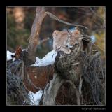 8077 lynx rubbing stump (C)