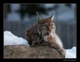 7646 lynx washing (C)