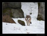 9041 wolf (c)