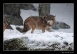 9293 walking wolf in falling snow (c)