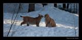 7984 greeting lynxes (C)