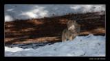 0094 wolf  (c)