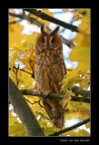 2575 long-eared owl in autumncolours