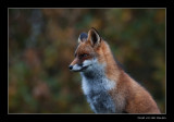 3448 fox in autumn