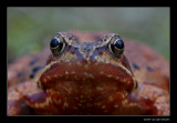 3663 frog