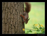 9782 red squirrel