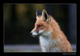 4050 fox