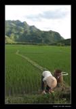 8011  Vietnam ricefields of Mai Chau
