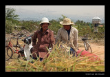 9770 Vietnam men at rice harvest