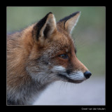 5807 fox portrait