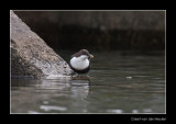 6221 dipper with prey