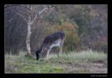 4614 fallow deer grazing