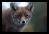 4664 fox portrait