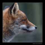 4720 fox portrait