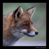 5808 fox portrait
