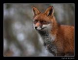 6530 fox